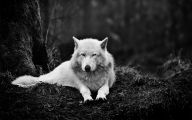 Black And White Wolf  16 Widescreen Wallpaper