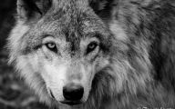 Black And White Wolf  19 Background