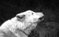 Black And White Wolf  23 Free Wallpaper