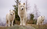 Black And White Wolf  32 Hd Wallpaper