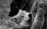 Black And White Wolf  37 Desktop Background