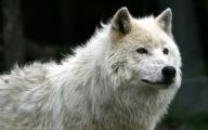 Black And White Wolf  6 Free Hd Wallpaper