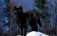 Black Anime Wolf  17 Desktop Wallpaper
