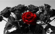 Red And Black Rose Wallpapers  12 Widescreen Wallpaper