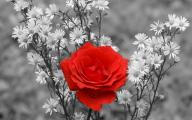 Red And Black Rose Wallpapers  16 Desktop Wallpaper