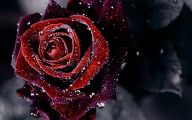 Red And Black Rose Wallpapers  26 Cool Hd Wallpaper