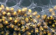 Black And Yellow Spider 55 High Resolution Wallpaper