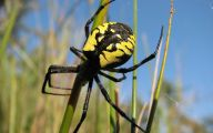 Black And Yellow Spider 61 Background Wallpaper