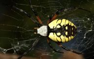 Black And Yellow Spider 63 Background Wallpaper