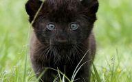 Black Panthers 11 Desktop Wallpaper
