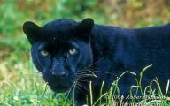 Black Panthers 12 Cool Hd Wallpaper