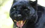 Black Panthers 16 Free Hd Wallpaper