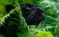 Black Panthers 17 Background Wallpaper