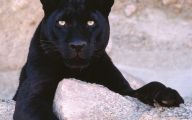 Black Panthers 18 Cool Hd Wallpaper