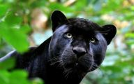 Black Panthers 26 Widescreen Wallpaper