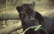 Black Panthers 4 Cool Hd Wallpaper