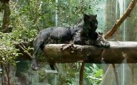Black Panthers 5 Free Wallpaper