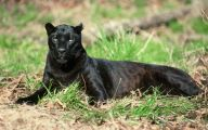Black Panthers 6 Hd Wallpaper