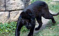 Rare Black Animals 44 Widescreen Wallpaper