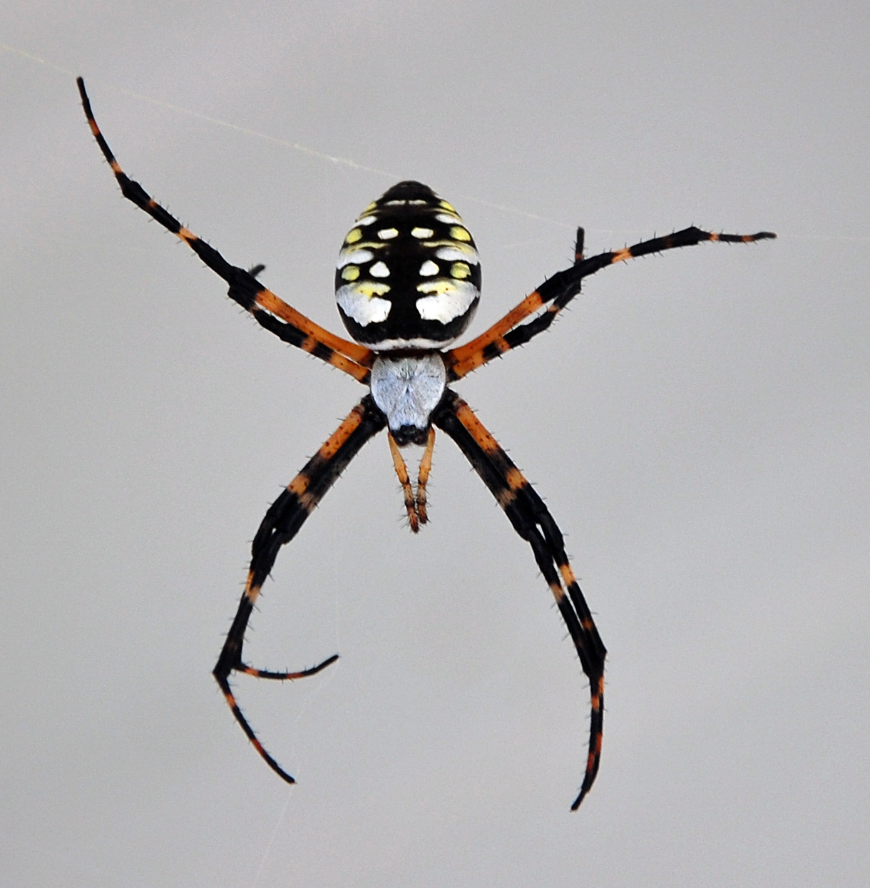 Black And Yellow Spider 2 Hd Wallpaper