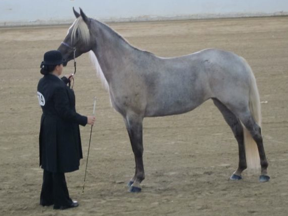 Black Silver Roan Horse Pictures to Pin on Pinterest ...