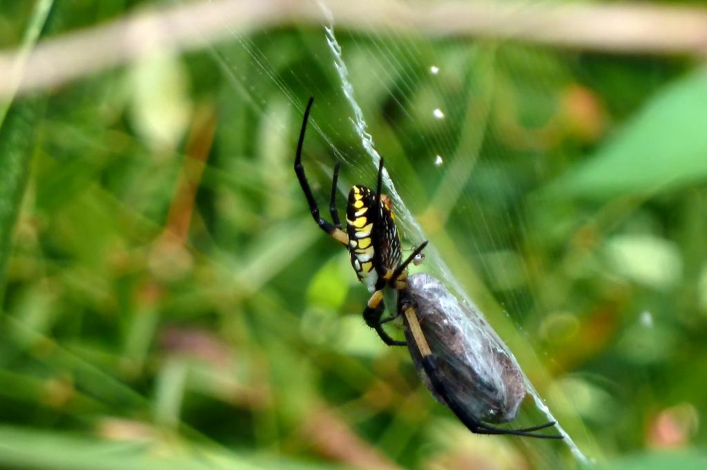 Black And Yellow Spider 18 Background Wallpaper