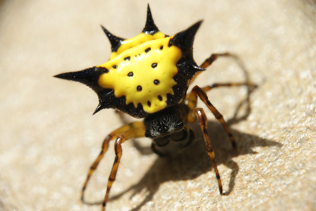 Black And Yellow Spider 22 Cool Wallpaper