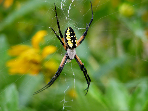 Black And Yellow Spider 25 Cool Hd Wallpaper