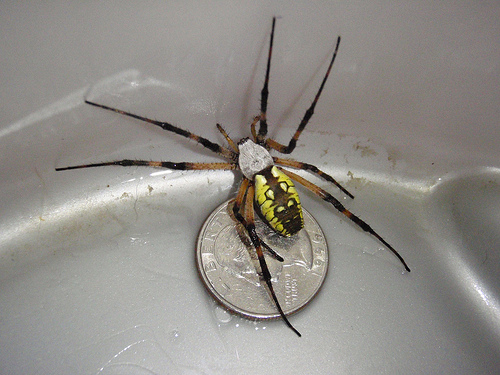 Black And Yellow Spider 45 Background Wallpaper