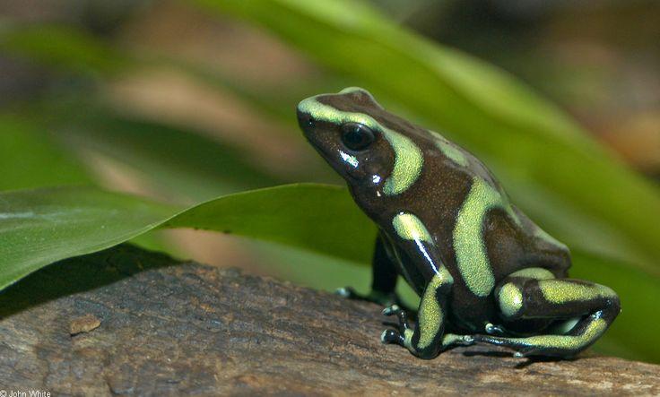 Green And Black Poison Dart Frog 1 Desktop Background