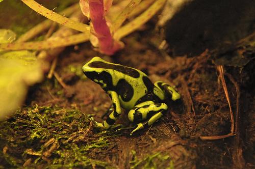 Green And Black Poison Dart Frog 29 Desktop Wallpaper