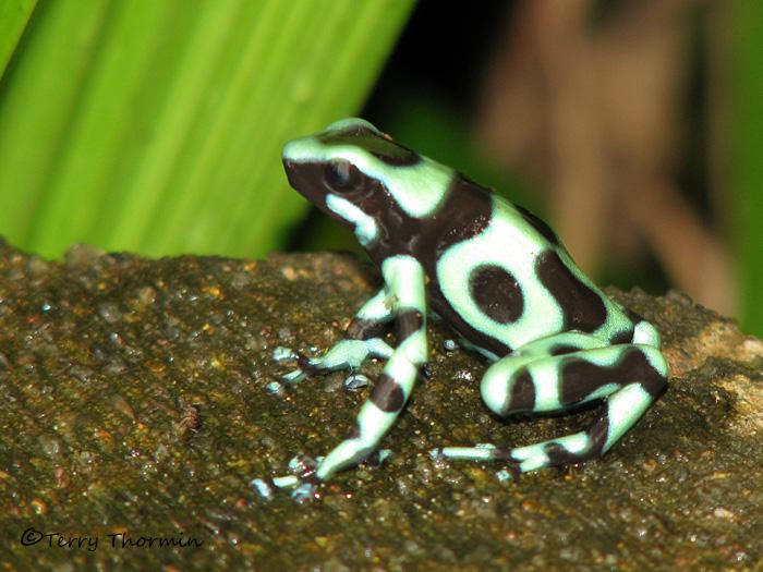 Green And Black Poison Dart Frog 56 Desktop Background ...
