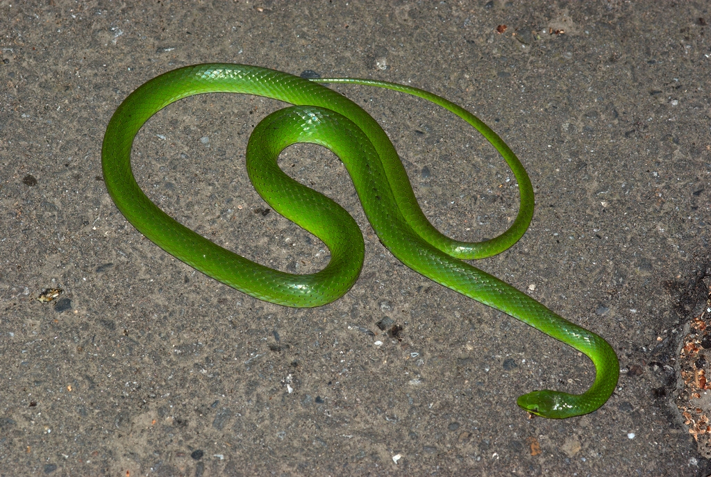 Green And Black Snake 11 Free Hd Wallpaper