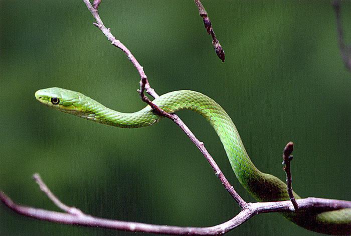 Green and black snake 13 cool hd wallpaper - Green snake hd wallpaper ...