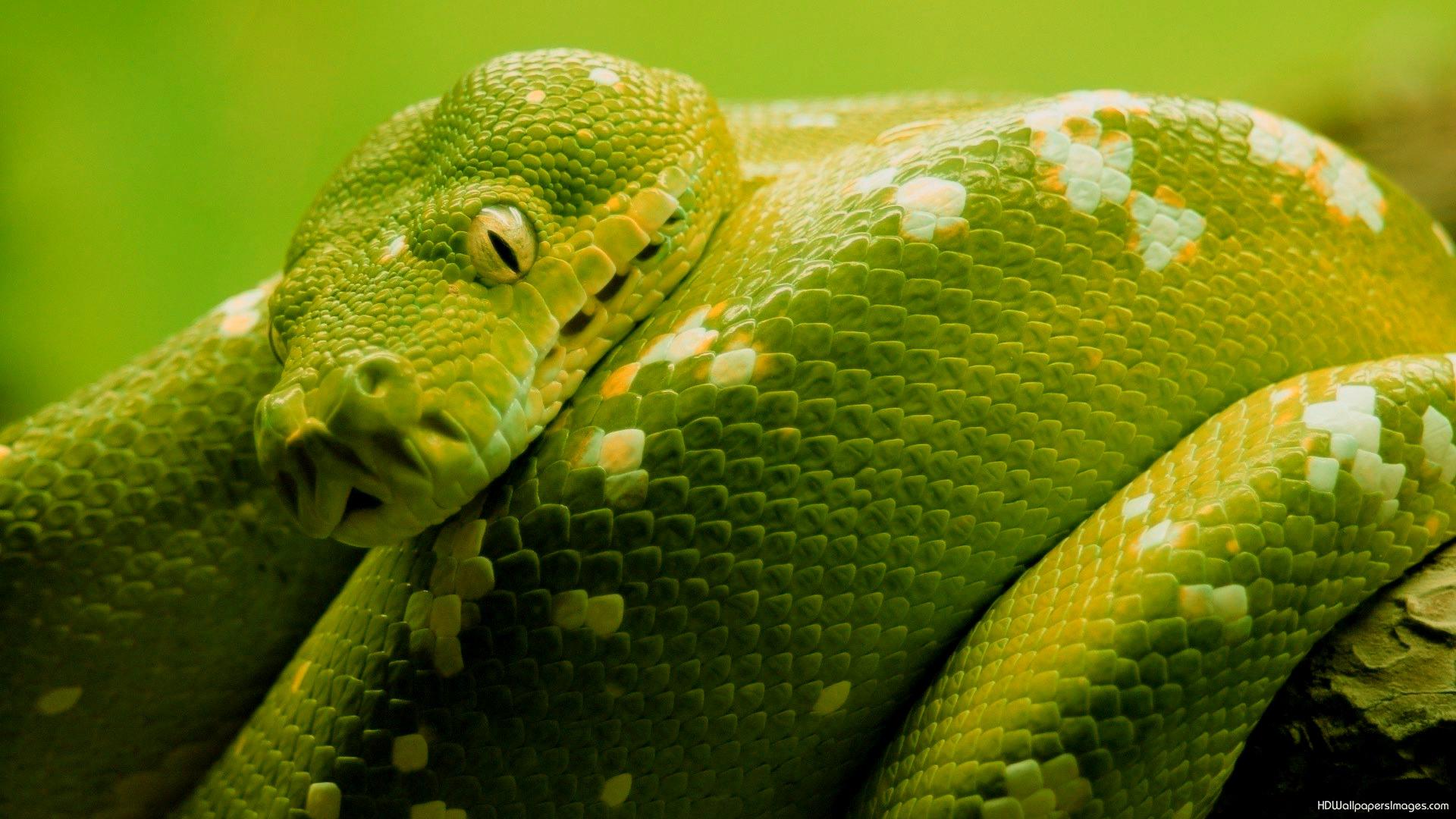 Hd Wallpaper Of Black Snake: Green And Black Snake 59 Desktop Background