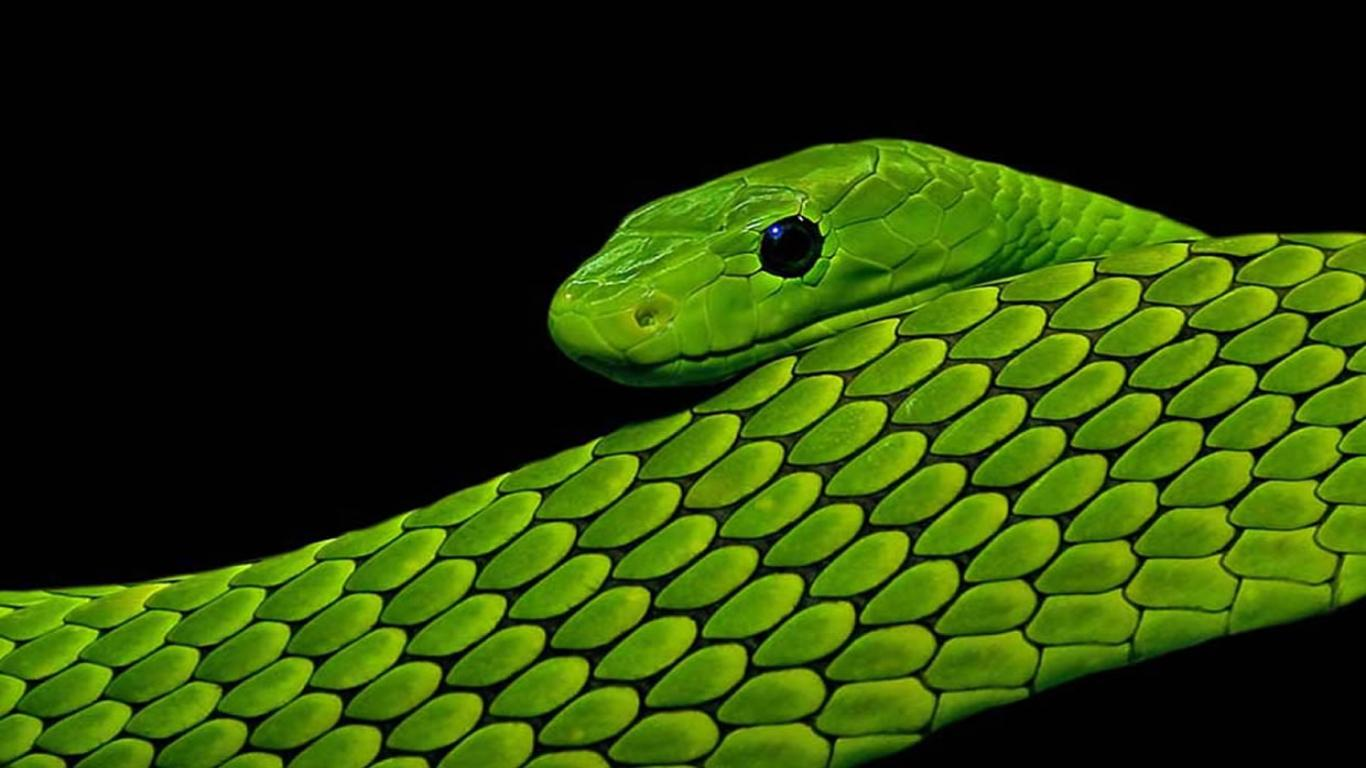 Green And Black Snake 63 Wide Wallpaper