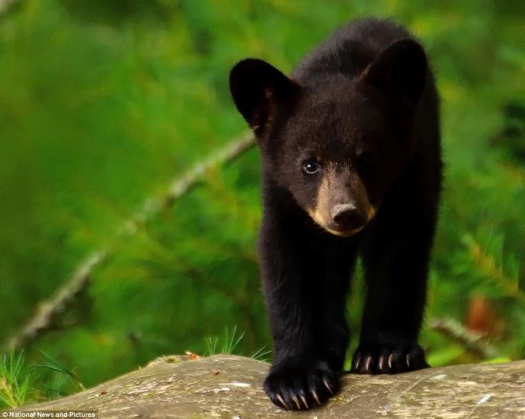 Black Bear 23 Background Wallpaper