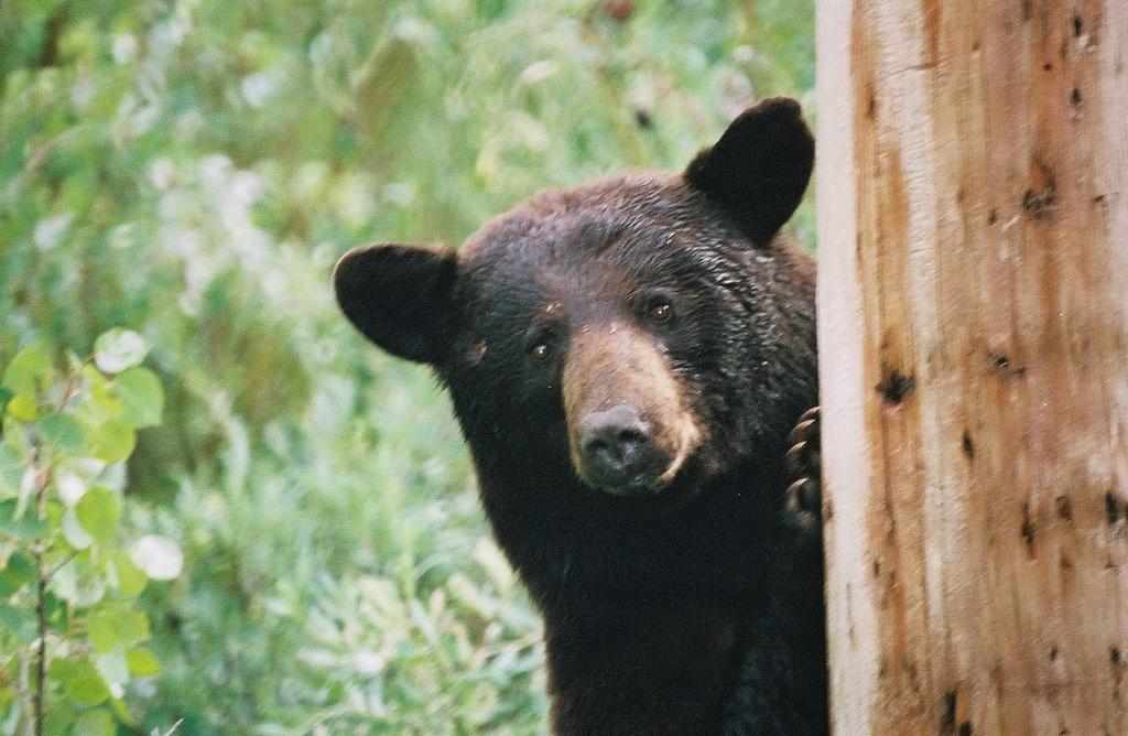 Black Bear 5 Widescreen Wallpaper