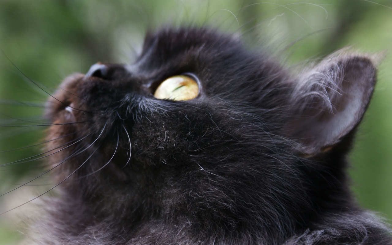 Black Cat 11 Wide Wallpaper