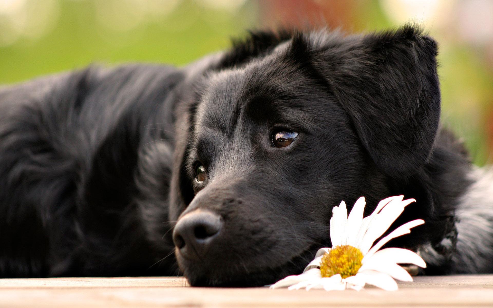 black dog 17 widescreen wallpaper - hdblackwallpaper