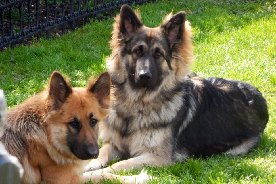 Black And Silver German Shepherd 24 High Resolution ...