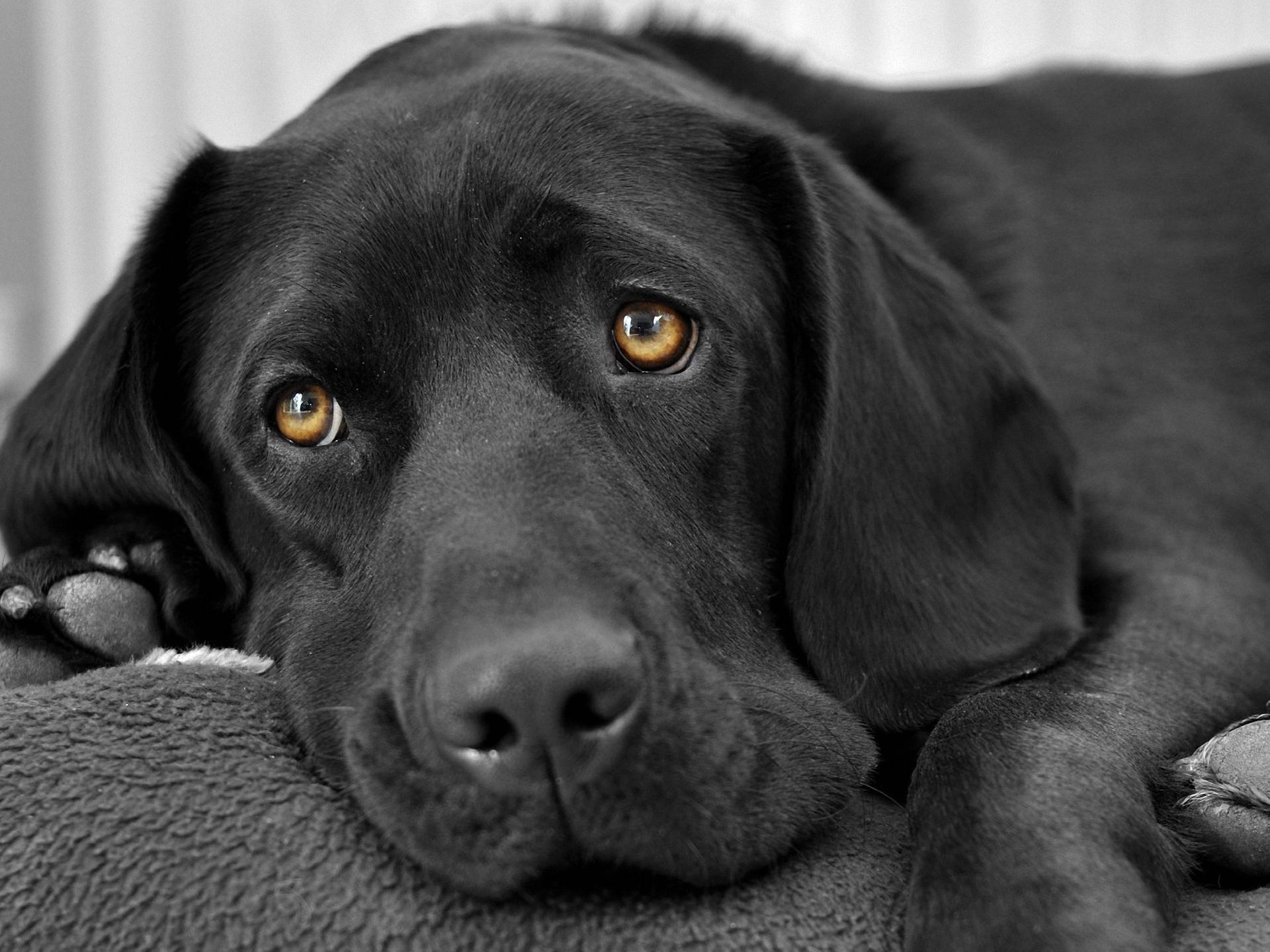 Black Dog 23 Background Wallpaper