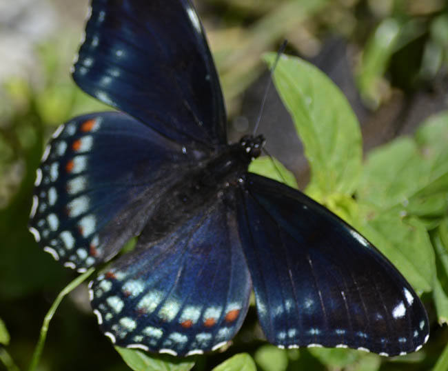 blue and black butterfly 1 widescreen wallpaper