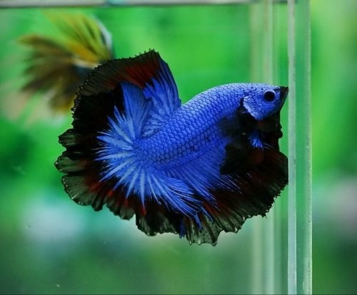 Blue and black butterfly 41 widescreen wallpaper for Black betta fish for sale