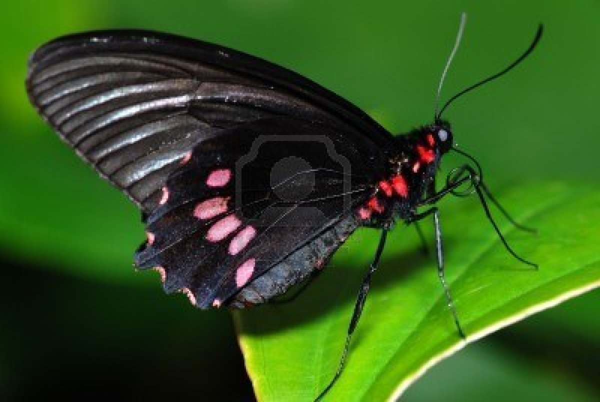 Green And Black Butterfly  24 Free Wallpaper