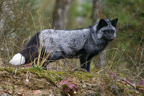 Black And Silver Fox 24 Background Hdblackwallpaper Com