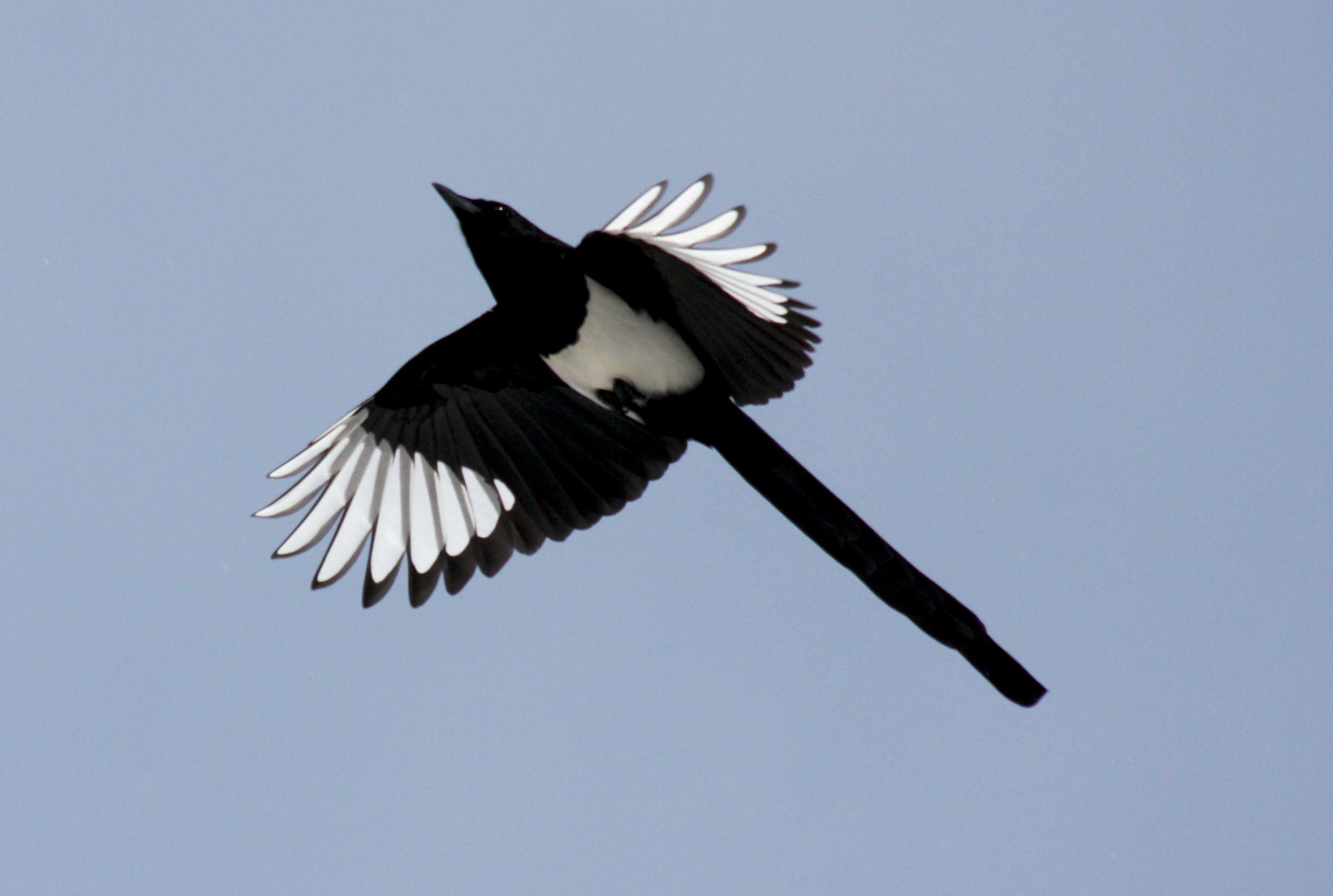 birds colorado desktop primaries avise flight pica hdblackwallpaper