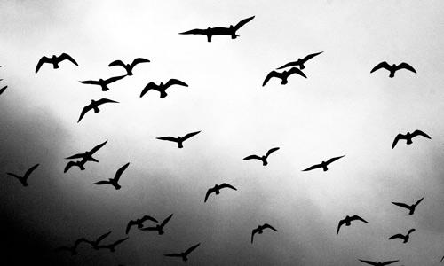 Black And White Bird Background