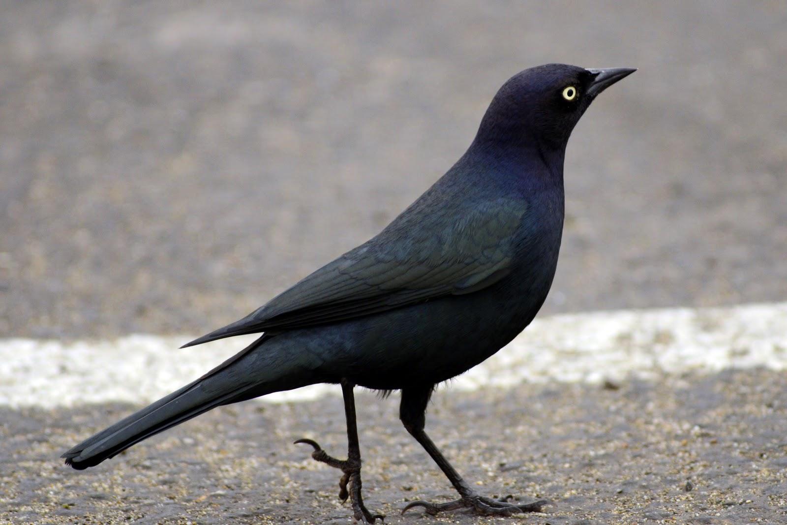 birds resolution blackbirds bird blackbird common western cutest those hdblackwallpaper brewer very