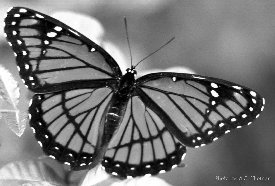 Black And White Images Of Butterflies 25 Hd Wallpaper